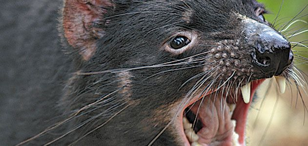 what is killing the tasmanian devil science smithsonian