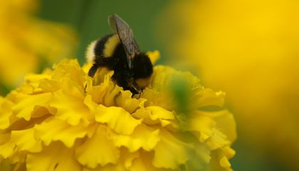 Bumblebees May Smell Each Other's Footprints to Keep Track of Flowers