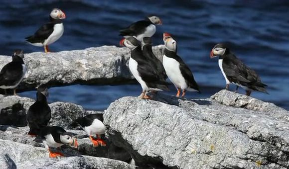 Preview thumbnail for video'Saving the Puffins
