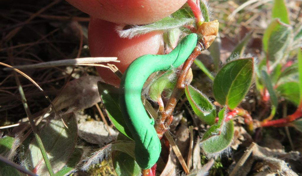 Study author Tomas Roslin holds one of the relatively few caterpillars in northern Greenland were chewed by a predator.