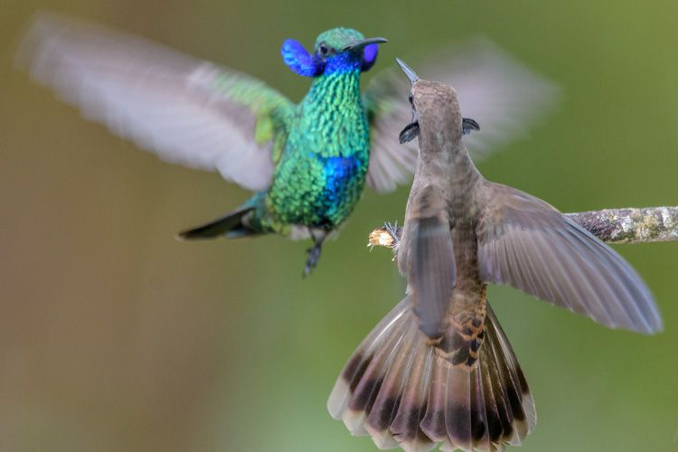 Some Hummingbirds Evolved Bills That Make Them Better At Fighting But Worse At Feeding Smart News Smithsonian Magazine