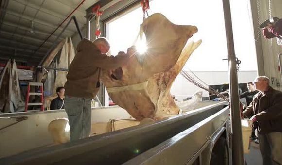 Preview thumbnail for video'A Right Whale Skeleton Arrives at the Smithsonian