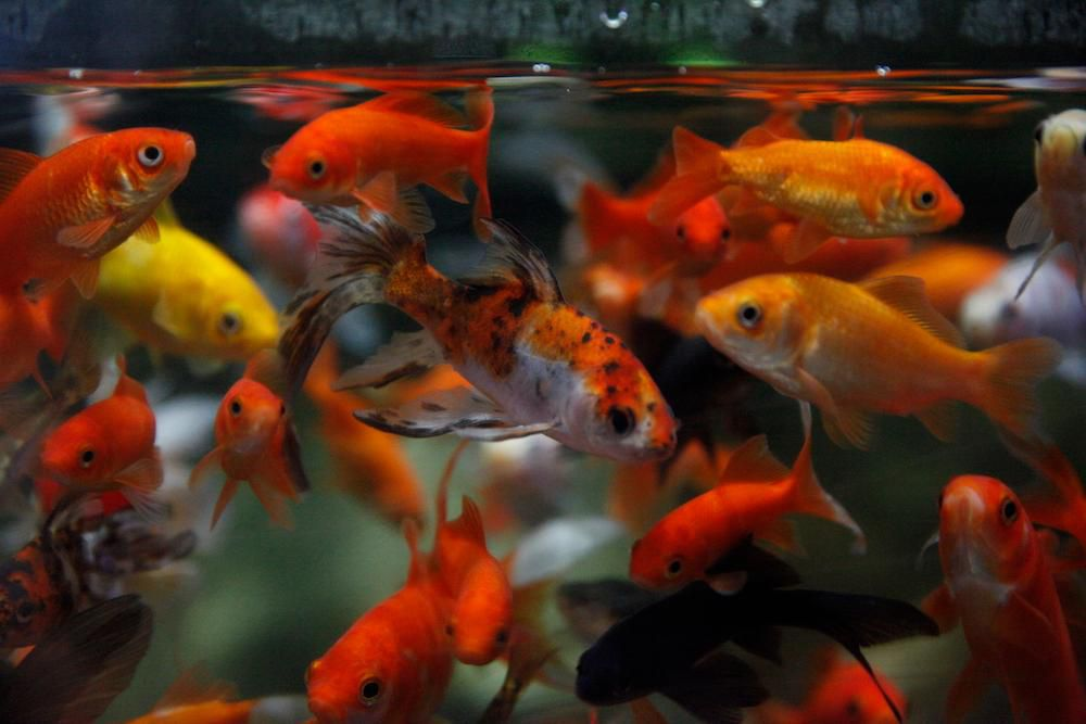 The Paris Aquarium Is Giving Unwanted Goldfish a Second Chance