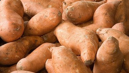 Sweet Potato Genes Say Polynesians, Not Europeans, Spread the Tubers Across the Pacific