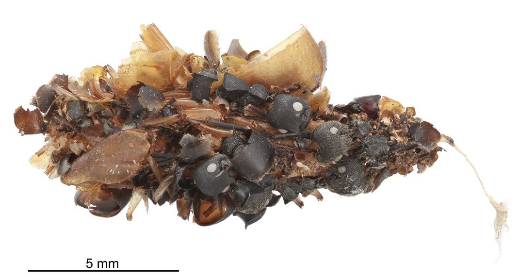 A black and brown predatory bag worm larval case covered in the remains of devoured insects from the National Museum of Natural History's collections.
