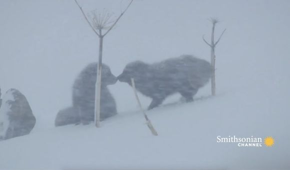 Preview thumbnail for video'Arctic Fox Couple Reunites in the Freezing Cold