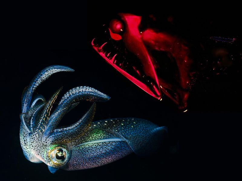 Why Bioluminescence Evolved to Be Red Light, and Blue Squid2