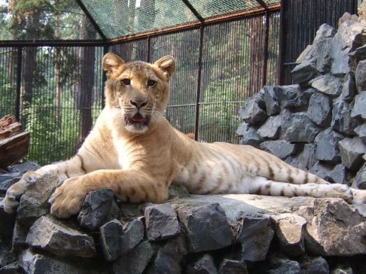 Animal Hybrids: Ligers and Tigons and Pizzly Bears, Oh My! | Science