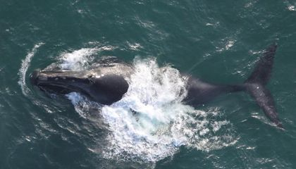 Listen to the First Known Song of the North Pacific Right Whale