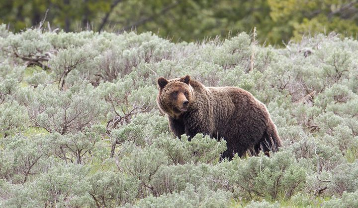 Yellowstone Grizzly Removed From Endangered List
