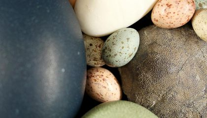 Dinosaurs May Have Given Birds Their Colorful, Speckled Eggs