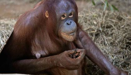 With Her Ultrasound Broadcast on Facebook, the Zoo's Orangutan Is Confirmed Pregnant