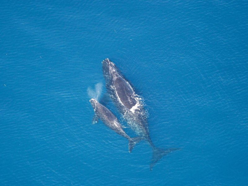 A mother and her calf are seen in this aerial image from 2005.