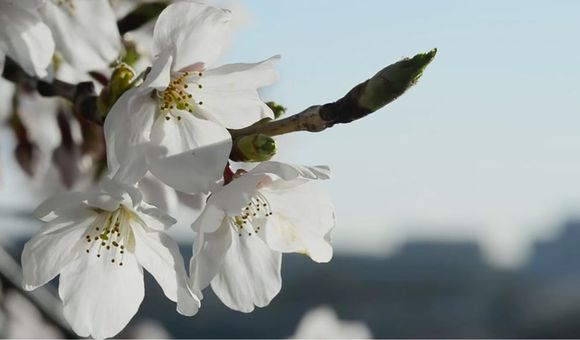 Preview thumbnail for video'See D.C.'s Cherry Blossoms in Less Than a Minute