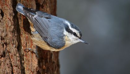 Nuthatches Heed Chickadees' Warning Calls—but They're Wary of False Alarms
