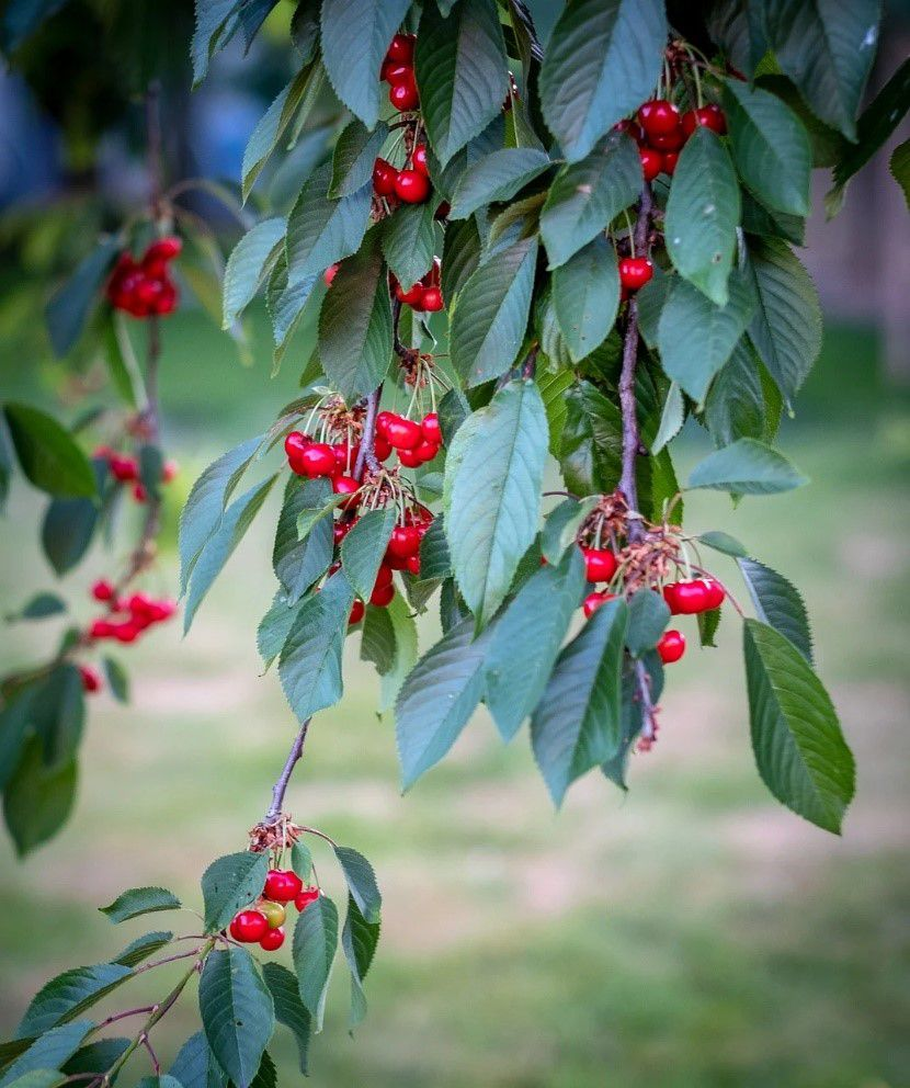 A branch with red cherries and green leaves.
