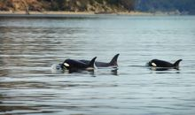 Listen in on Orca Chatter with a New App