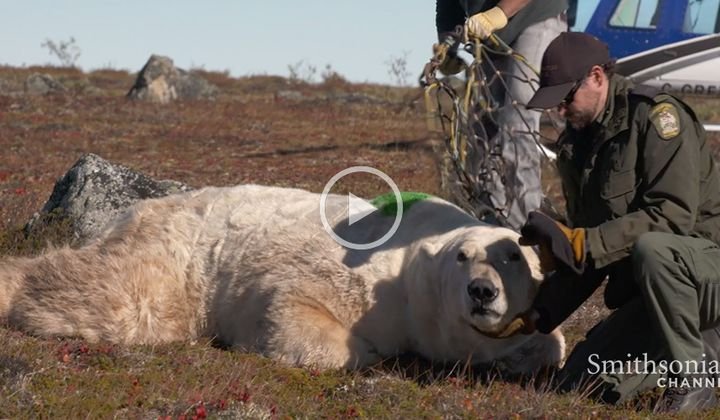 Polar Bear Released Into the Wild by Helicoptor