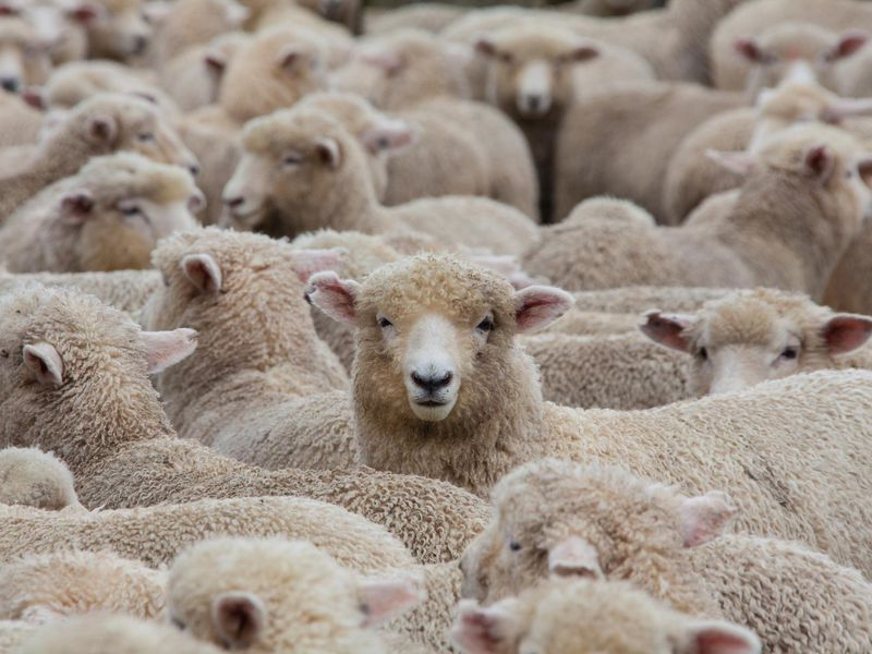 What Will It Take to Make Vegan Wool? | Innovation | Smithsonian