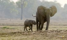 Why Elephant Moms Always Stay Close to Their Calves