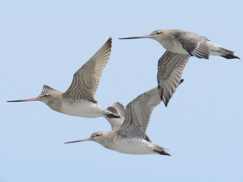 Three bar-tailed godwits fly together in front of a blue sky. They are seen flapping their pointed, speckled black and gray wings. They have long, thin, orange beaks with black tips at the end.