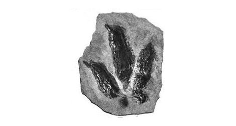 One of the many dinosaur tracks figured in Edward Hitchcock's Ichnology of New England.