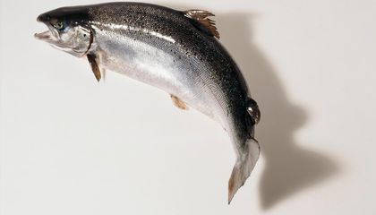 Five Things to Know About the Genetically Engineered Salmon Approved by the FDA