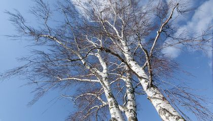 """""""Sleeping"""" Birch Trees Rest Their Branches at Night"""