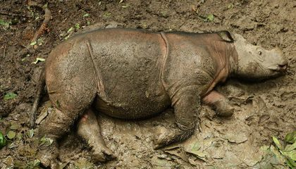 One of Malaysia's Last Sumatran Rhinos Has Died