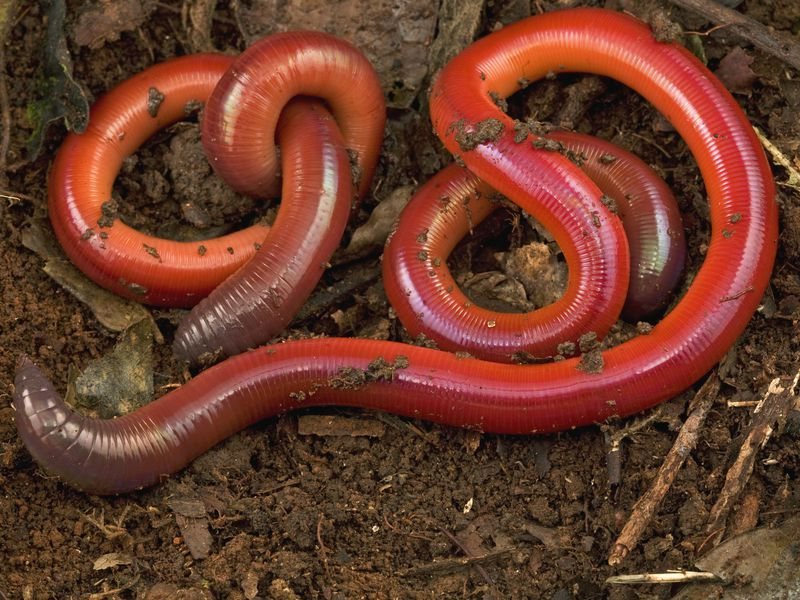 lady worms beware pick the wrong mate end up dead smart news