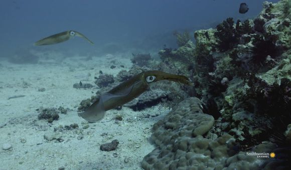 Preview thumbnail for video'Fascinating Footage of a Reef Squid Protecting His Mate