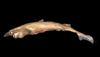 This Tiny, Bulbous-Nosed Shark Glows in the Dark