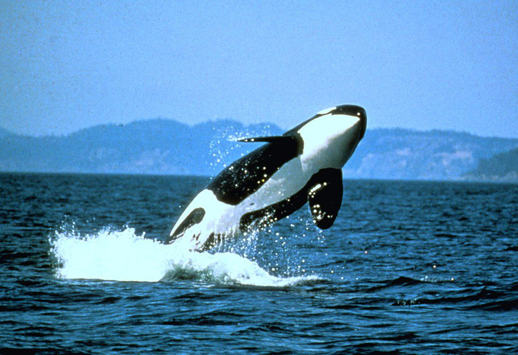 Pacific Northwest Orca Population Hits 30-Year-Low | Smart News | Smithsonian