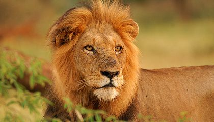 There Is a Way to Make Lion Hunting Good for Lions