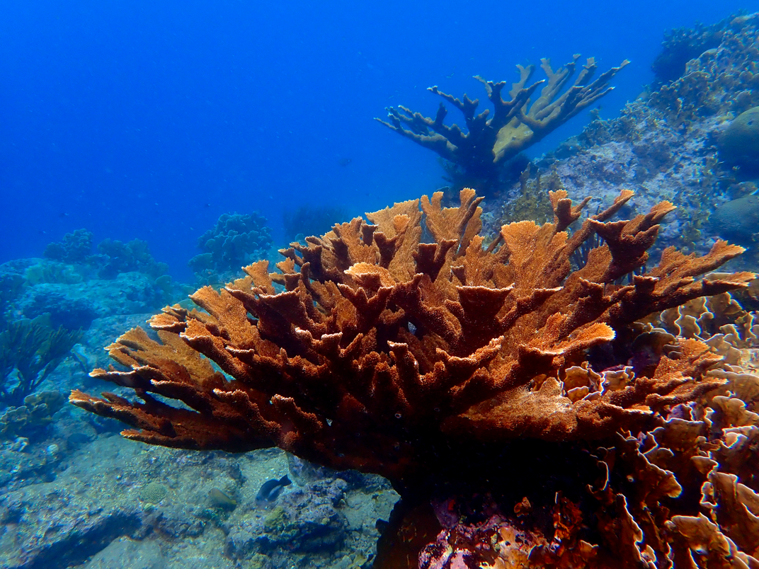A large acropora coral on an underwater coral reef