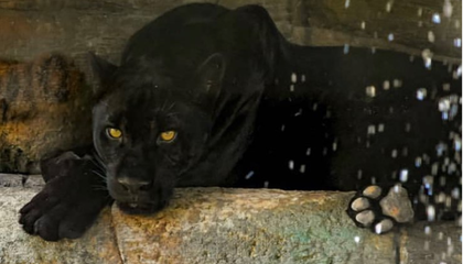 Woman Attacked by Jaguar at Arizona Zoo Says She Was 'In the Wrong'