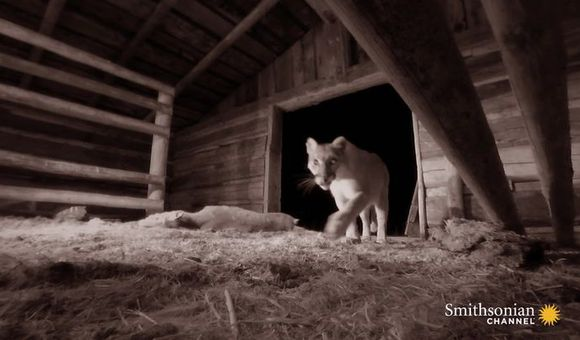 Preview thumbnail for video'This Mountain Lion Hides Her Kills in Abandoned Ranches