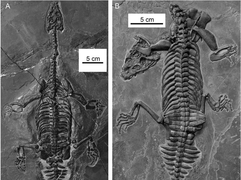 Two photos of the two fossils are next to each other. The fossils show the skeletal imprints of the two newly discovered reptiles in gray stone.