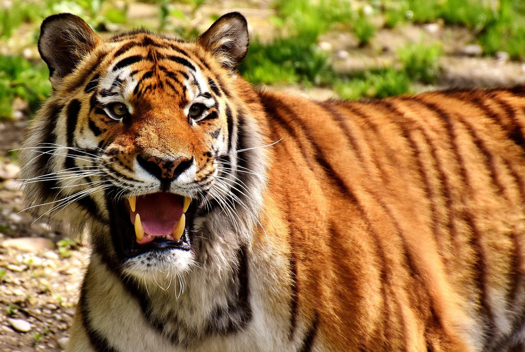6a99af7f Man-Eating Tigress Killed in India, Lured by Calvin Klein Cologne ...