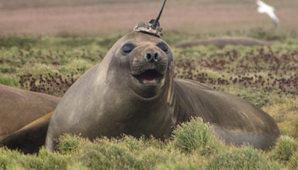 Seals With High-Tech Hats Are Collecting Climate Data in the Antarctic