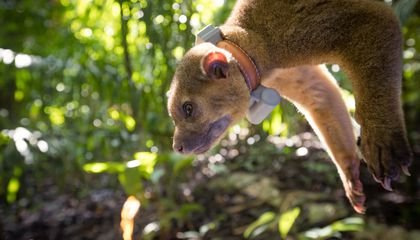 Kinkajou tagging in Panama Credit: Untamed Science Roland