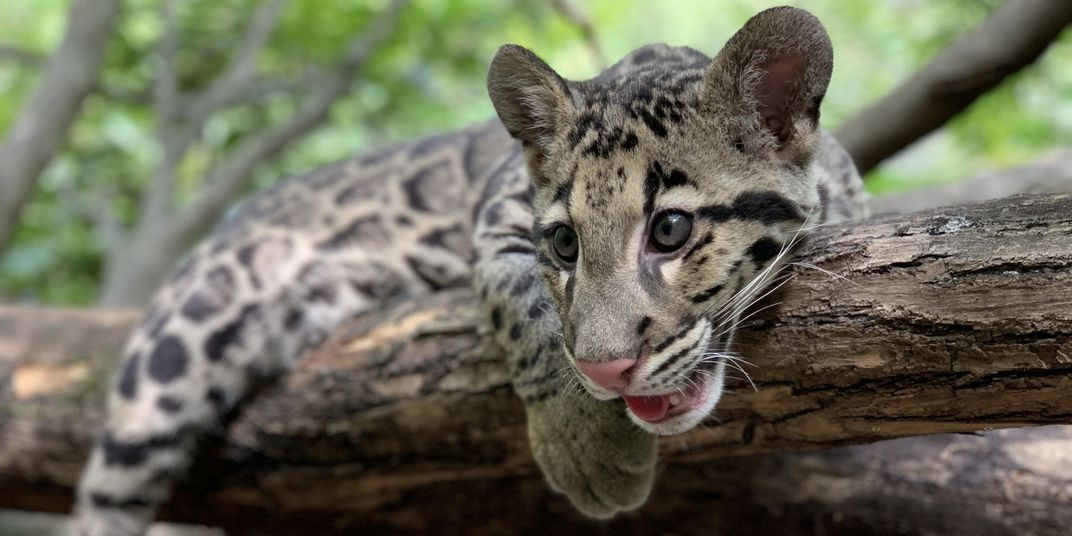 A clouded leopard cub with spotted fur, big paws, round ears and long whiskers rests on a tree branch.