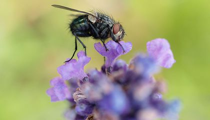 How Much Do Flies Help With Pollination?