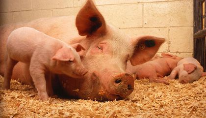 Pigs Aren't Quite as Domesticated as People Once Thought