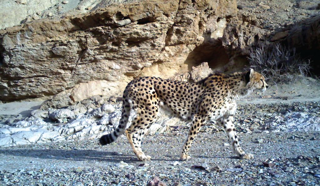 Poaching Isn't the Cheetah's Only Problem | Science
