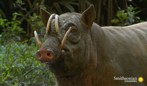 Preview thumbnail for video'This Wild Pig Has Fangs That Can Pierce Its Own Skull