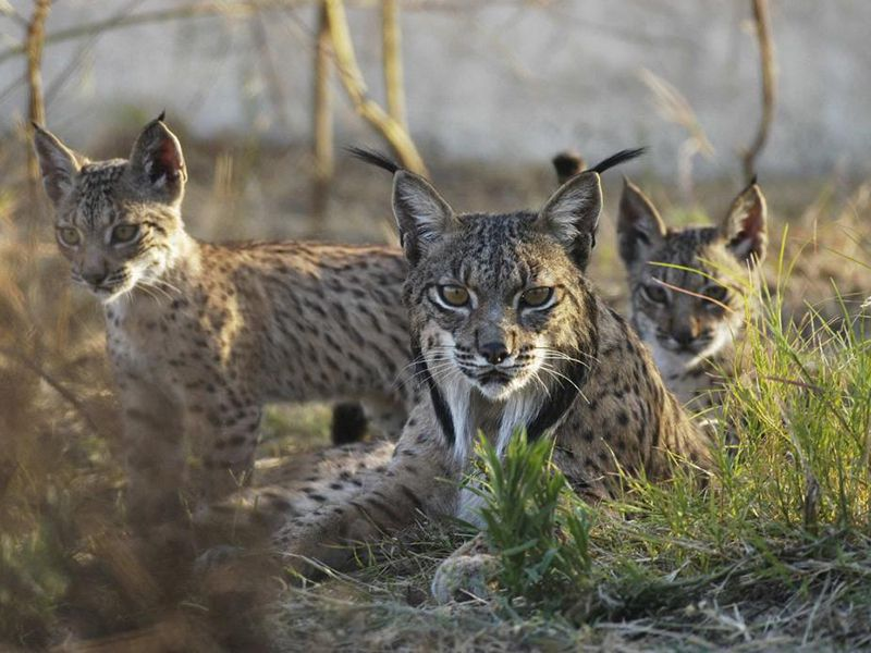 Iberian lynx with cubs