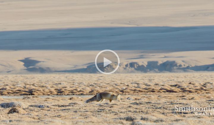 A Fox's Joy in Finding Fresh Meat Is Short-lived