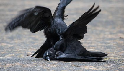 It's Not Without Caws That Crows Desecrate Their Dead