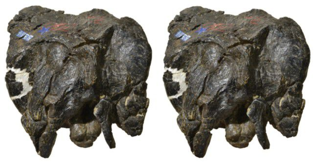 Two, brown fossil dinosaur skulls on a white background.